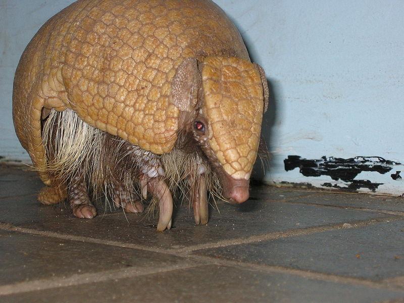 『タツー』とはポルトガル語でアルマジロのこと。ミツオビアルマジロはブラジルの固有種で、絶滅の恐れがある。2014年に開催されたサッカーW杯のマスコットキャラクターでもあった。 (Foto By ChrisStubbs (投稿者自身による作品) [GFDL (http://www.gnu.org/copyleft/fdl.html) or CC-BY-SA-3.0 (http://creativecommons.org/licenses/by-sa/3.0/)], via Wikimedia Commons)