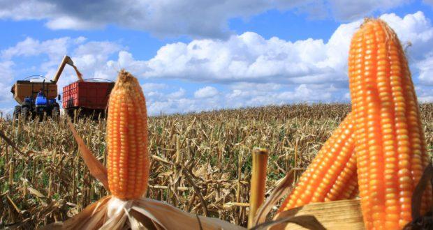 第2期目の収穫が始まったパラナ州のトウモロコシ畑(Cleverson Beje/FAEP)