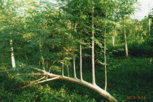 倒木した木自体からも分枝して、力強く成長するモリンガ