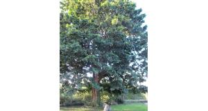 大浦邸の巨木