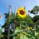ど根性ひまわり、ブラジルでも=東日本大震災に負けず咲く=「ブラジルの花とても大きい」