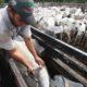 国際獣疫事務局(OIE)=ブラジルをワクチン接種口蹄疫清浄国に認定=口蹄疫撲滅の努力に評価