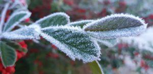 霜で覆われた植物の葉(Mycchel Hudsonn Legnaghi/São Joaquim Online)