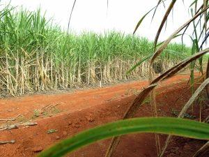 サトウキビ畑(参考画像・Agencia Brasil)