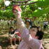 一面に広がる葡萄畑