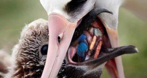 海鳥が口移しで与えるえさの中にもプラスチックごみが含まれている(参考映像、Ecosurf/Divulgação)