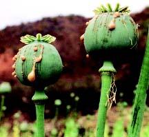 ケシの果実、通称ケシ坊主に傷を付けてアルカイド樹脂を採取している様子(ウィキペディア)