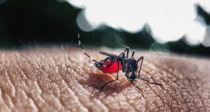 現時点ではまだ、黄熱病媒介例は報告されていないが、デング熱、ジカ熱、チクングニア熱を媒介するネッタイシマカ(Pixabay/Divulgação)