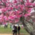 サンパウロ州サンロッケ市の国士館スポーツセンターの桜
