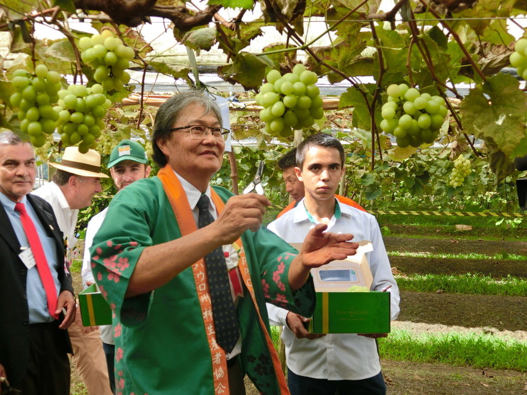 マスカットを収穫する森岡会長