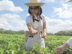 島田茶園で茶摘みの説明をする梅子さんの娘、栄子さん