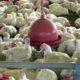 《ブラジル》大手食品メーカーの鶏肉に回収命令=サルモネラ菌検出の疑いで