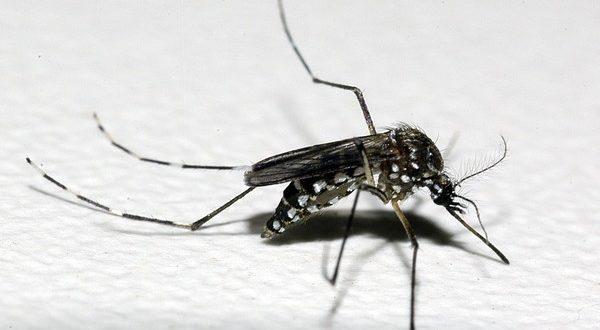 デング熱などを媒介するネッタイシマカ(Aedes aegypt、Raul Santana/Fundação Oswaldo Cruz/Divulgação)