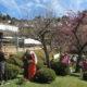さくらホームの雪割桜に込められた郷愁