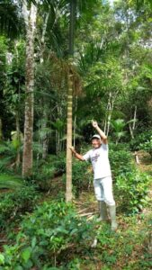 セッチ・バラス市の山丸氏の農場で育ったジュサラ椰子