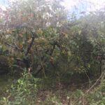 西尾さんの柿畑2
